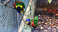 Rainbow lorikeet at Birdworld 04.jpg