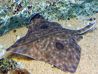 Mottled skate species of fish