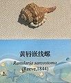 Ranularia sarcostoma IMG 5429 Beijing Museum of Natural History - Natural History Museum of Guangxi.jpg