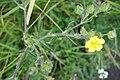 Ranunculus acris, Ranunculaceae 03.jpg