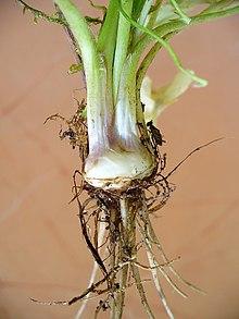 Ranunculus Bulbosus Wikipedia