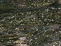Ranunculus fluitans 001.JPG