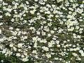 Ranunculus peltatus 2 (Espagne).JPG