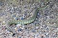 Rattlesnake in Camp Roberts -a.jpg