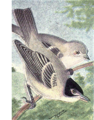 Read-black-capped-vireo.png