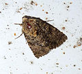 Recoropha canteneri. Oncocnemidinae. Noctuidae (5257592446).jpg