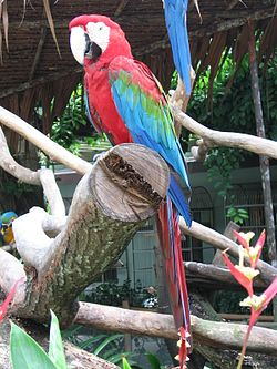 Red-and-green Macaw, Ara chloroptera 2, JBP, Nov 06.JPG