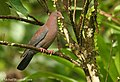 Red-billed Pigeon (2780742453).jpg