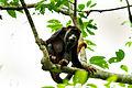 Red-handed howler monkey (Alouatta belzebul).jpg