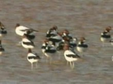 File:Red-necked Avocet.ogv