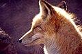 Red Fox (4500627531).jpg