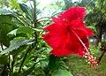 Red Hibiscus JNU.jpg