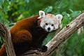 Red Panda (37661222475).jpg