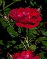 Red Rose Opened Macro PLT-FL-RS-14.jpg