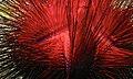 Red Urchin (Astropyga radiata) (6064648447).jpg