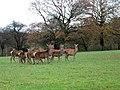 Red deer, Lambourn Woodlands - geograph.org.uk - 1652047.jpg
