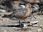 Red knot Delaware