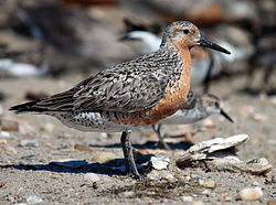 Calidris canutus rufa, hekkedraktFoto: U.S. Fish and Wildlife Service, Public domain