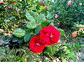 Red roses blooming 2.jpg