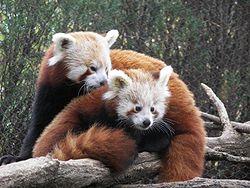 Resultado de imagen de panda rojo
