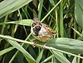 Reed Bunting. Emberiza schoeniclus (32468748318).jpg