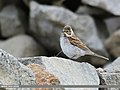 Reed Bunting (Emberiza schoeniclus) (51169113718).jpg
