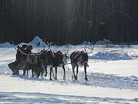 Reindeer pulling sleigh, Russia.jpg