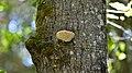 Resinous Polypore (Ischnoderma resinosum) - Algonquin Provincial Park, Ontario 2015-09-22.jpg