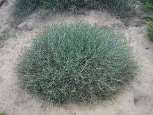 Rhanterium epapposum — Arfaj, Kuwait National flower — I Love Q8.jpg
