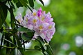 RhododendronFlowerMA.jpg