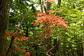 Rhododendron Kaempferi 03.jpg