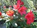 Rhododendron repens 'Scarlet Wonder' 3.JPG