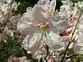 Rhododendron schlippenbachii 2019-04-20 1694.jpg