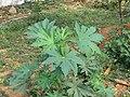Ricinus communis - Castor Bean Plant at Thattekkadu (5).jpg