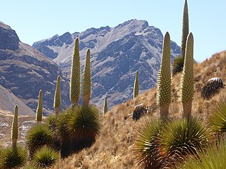 Huascarán National Park - Queen of the Andes (Puya raimondii) growing inside the park.