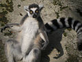 Ring-tailed Lemur.JPG