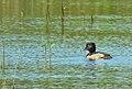 Ringand Ring-necked Duck (20356362841).jpg