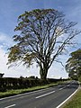 Roadside Tree - geograph.org.uk - 572124.jpg