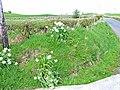 Roadside daffodils, Ballaird - geograph.org.uk - 322603.jpg
