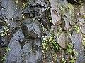 Rock Balsam (15212525080).jpg