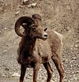 Rocky Mountain Bighorn Sheep (2595608165).jpg
