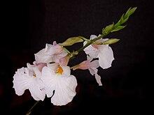 Rodriguezia obtusifolia