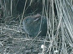 lapin gris en boule à museau rond, yeux noirs et oreilles moyennes