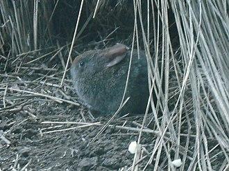 Volcano rabbit - Image: Romerolagus diazi (dispale) 001