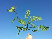 Rorippa sylvestris (s. str.) sl6.jpg