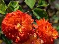 "Rosa ""Bea"". 02.jpg"
