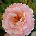 """Rosa """"Botticelli"""" o MEIsylpho. 01.jpg"""