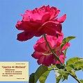 """Rosa """"Caprice de Meilland"""" o MEIsinover. 02.jpg"""