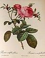 Rosa centifolia foliacea 001.JPG