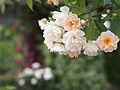 Rose, Phyllis Bide, バラ, フィリス バイド, (15855431041).jpg